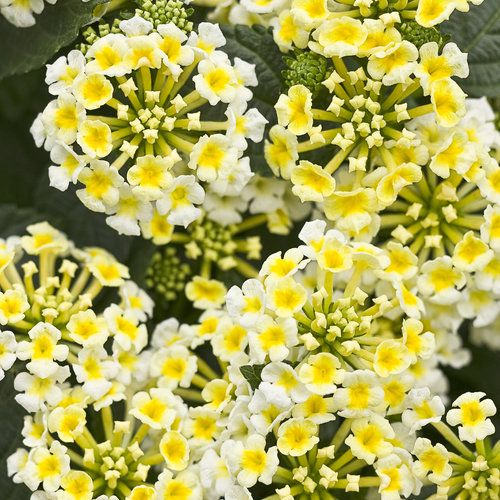 Some like it hot lantanas really go to town in hot weather puff puffs of small white flowers with yellow centers packed into clusters adorn the dark foliage of the luscious pina colada mightylinksfo