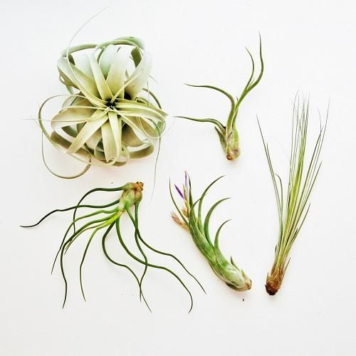 Large Air Plant Variety Pack - 5 Big Plants | Plants | Pinterest ...