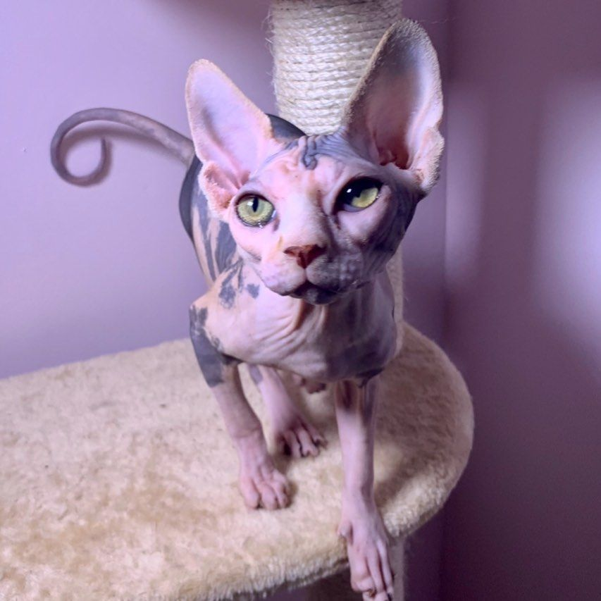 Special Request Available For Pick Up And Delivery In 2020 Cat Breeder Cats For Sale Sphynx Cat