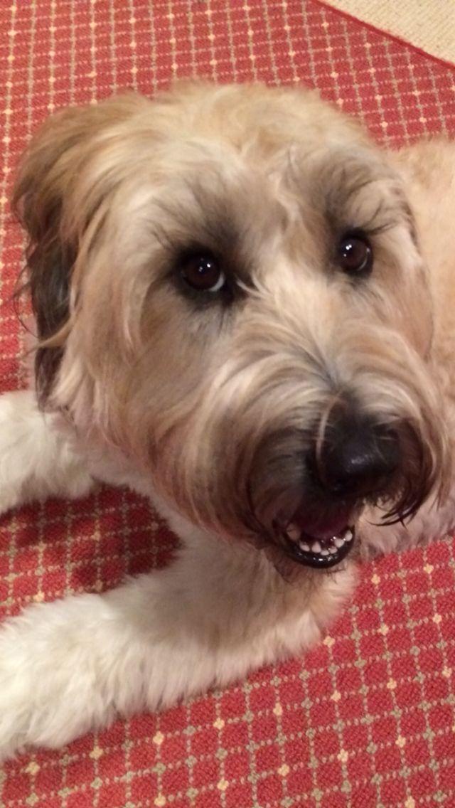 Eyelashes For Days Soft Coated Wheaten Terrier Wheaten Terrier Terrier