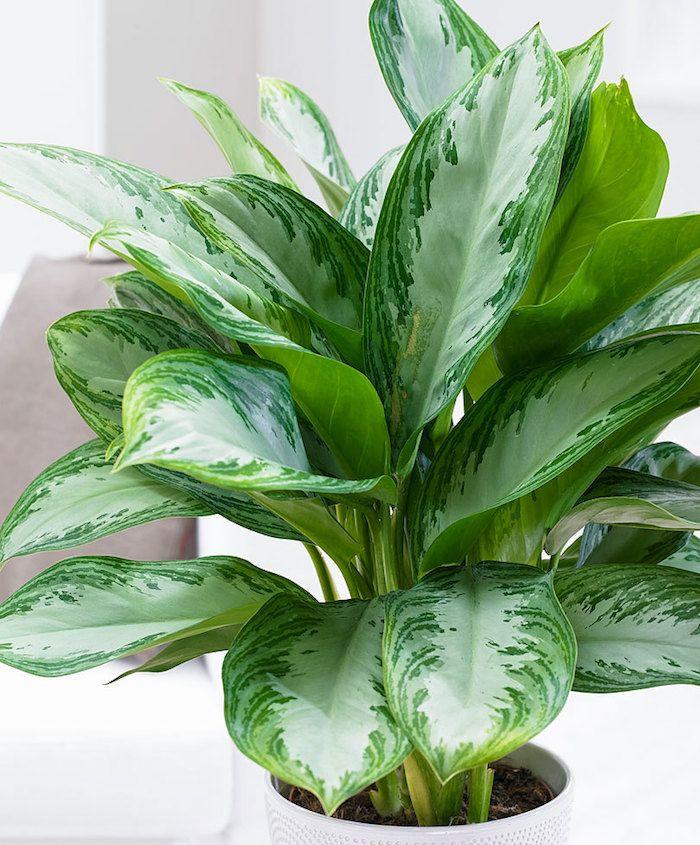 Zimmerpflanzen Für Dunkle Standorte zimmerpflanzen für dunkle räume aglaonema in weißem blumentopf ein