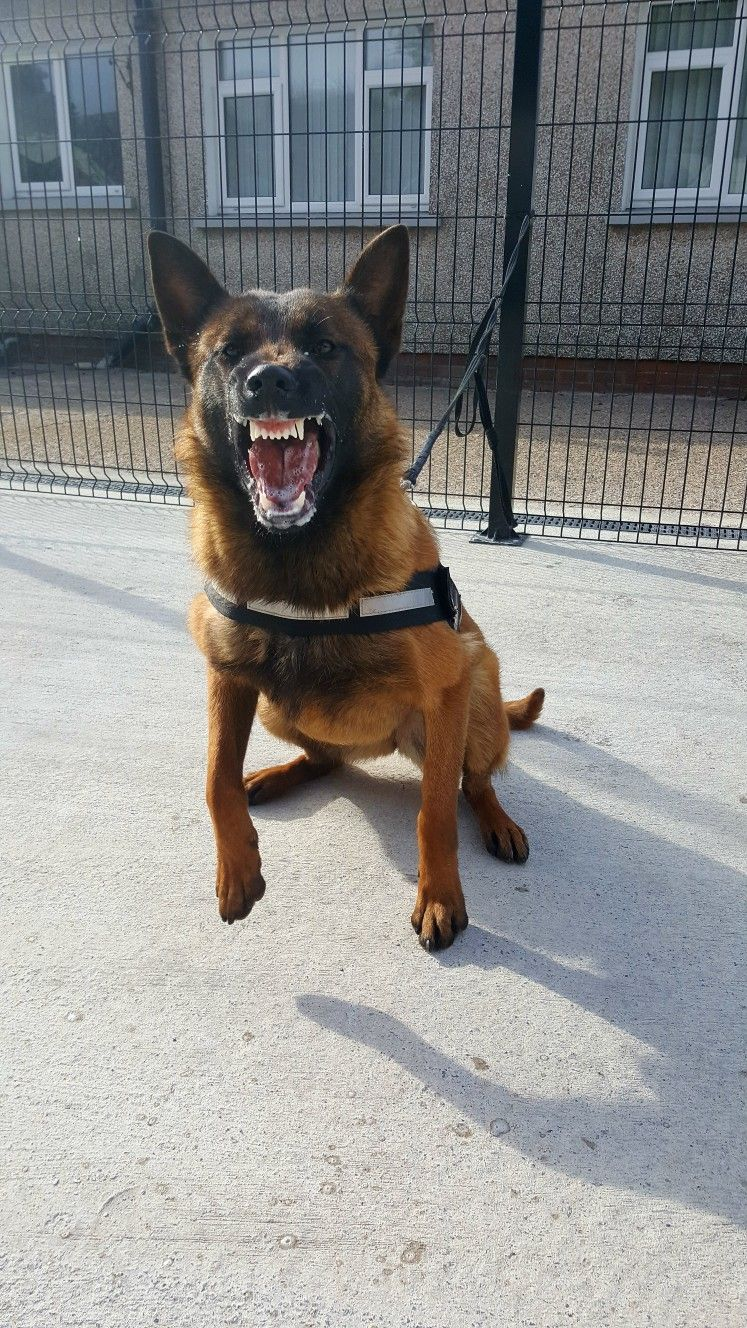 Image By Alicia On K9 Military Working Dogs Military Dogs