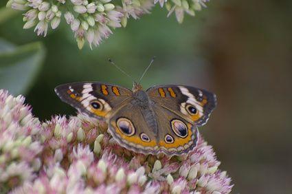 Buckeye Butterfly Habitat