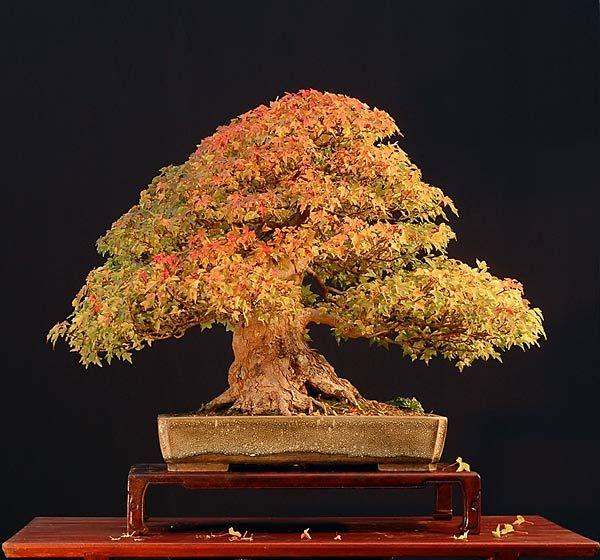 JY: Trident Maple (Acer Buergerianum) - Fall Bonsai Gallery of Walter Pall