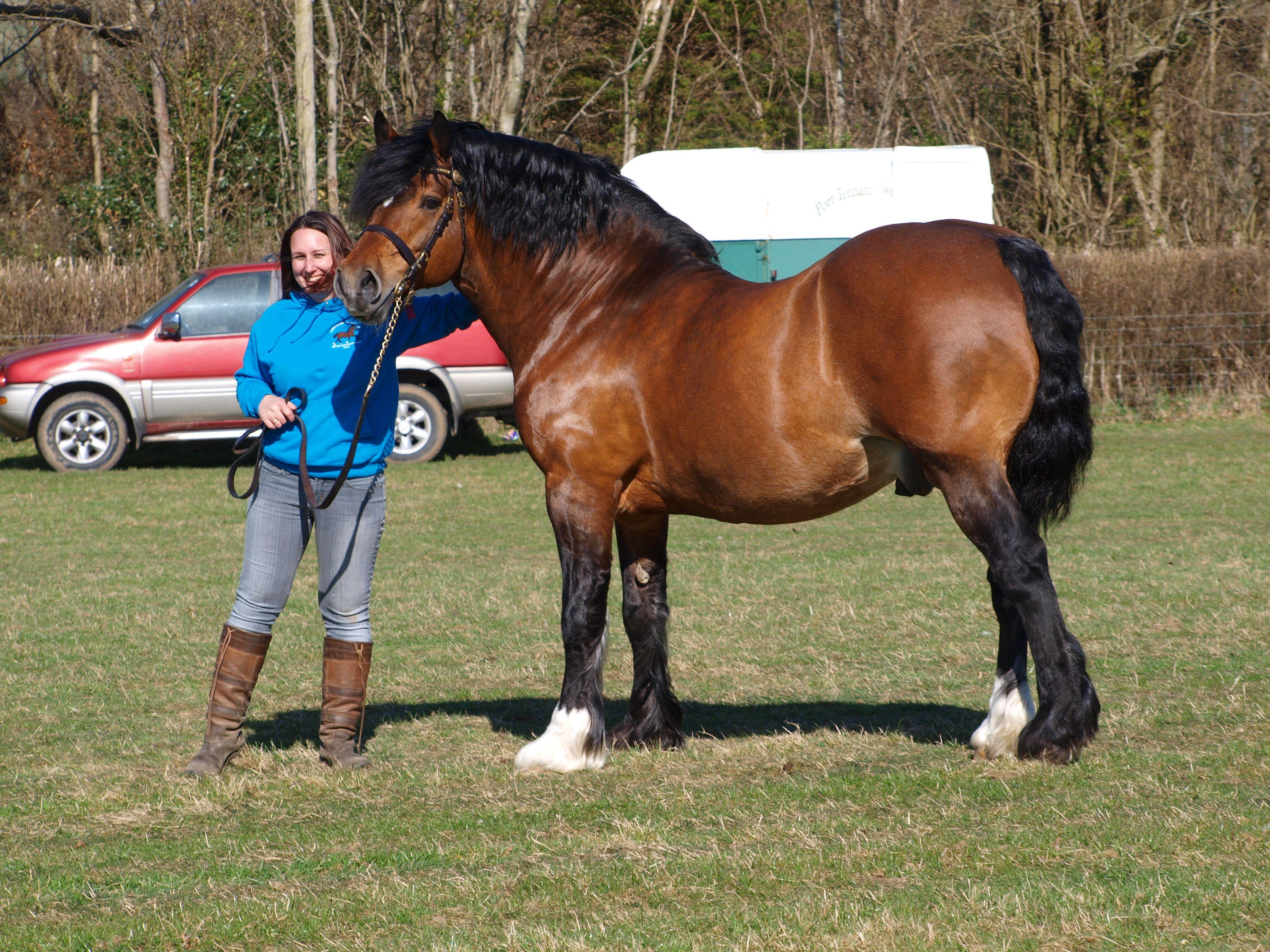 my welsh cob stallion Brynithon Northern Wind