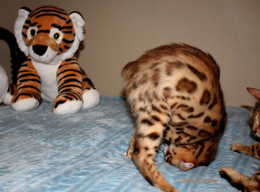 EnchantedTails Available Purebred, Registered Bengal