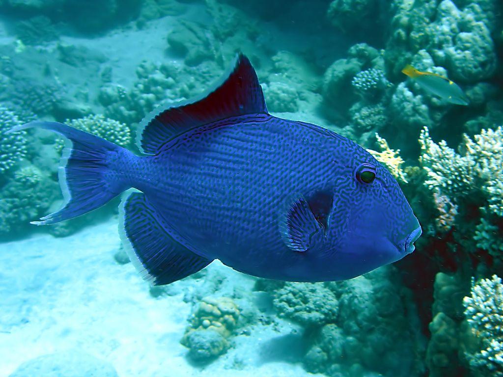 Blue Triggerfish Sea Fish Fish Party Boat Fishing