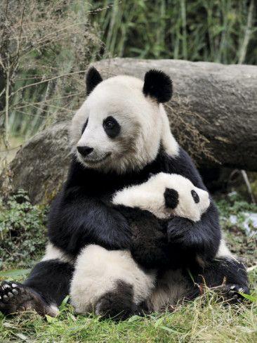 Giant Panda Mother And Baby Prints By Eric Baccega Panda Bear
