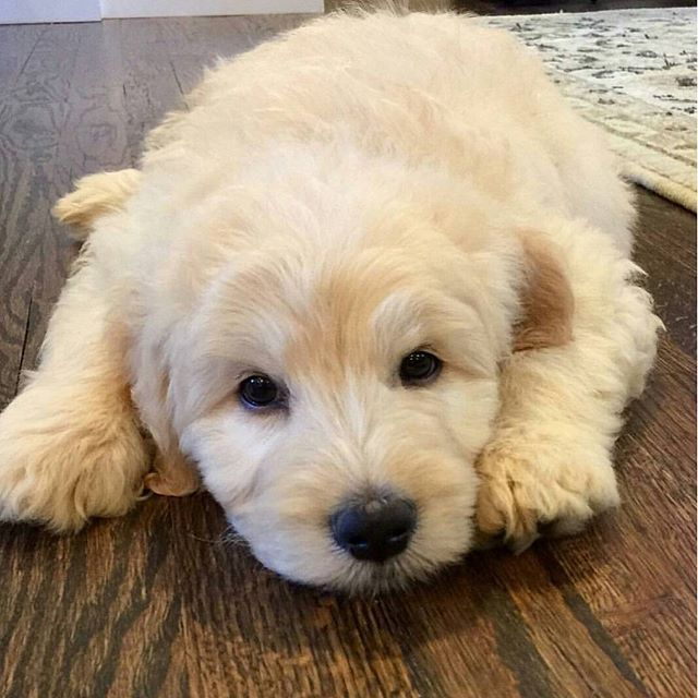 follow us, like and post feedback if you feel this pet is lovable:) #cute #Puppy #puppies #dog #kittenspuppiesdaily #Doggy