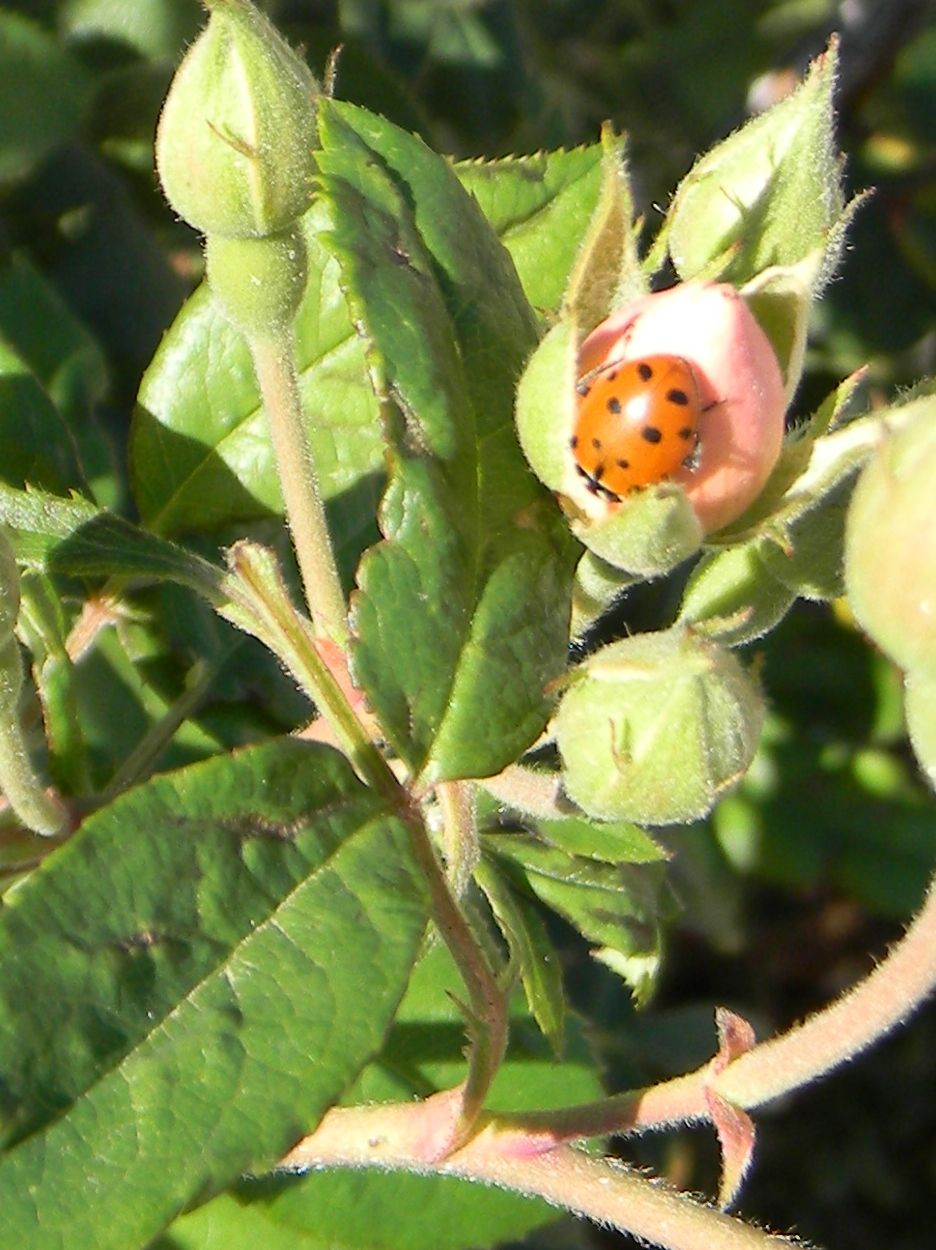 Rose bud being patrolled by Hippodamia convergens  Ladybugs