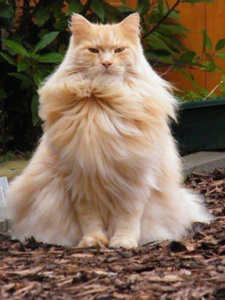 Orange And Cream Domestic Long Hair Cat Chris Giacometti Pretty Cats Animals Pets