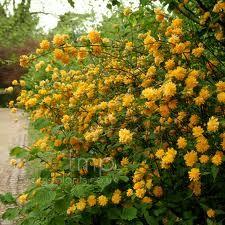 Arbusto Fiori Gialli.Kerria Ranonkel Struik Jardim Jardim Do Eden