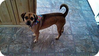 Colorado Springs Co Pug Beagle Mix Meet Lady A Dog For