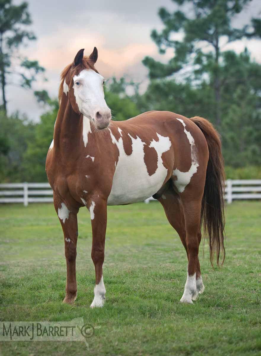 Chestnut Pinto horse :: American Paint Horse stallion ...