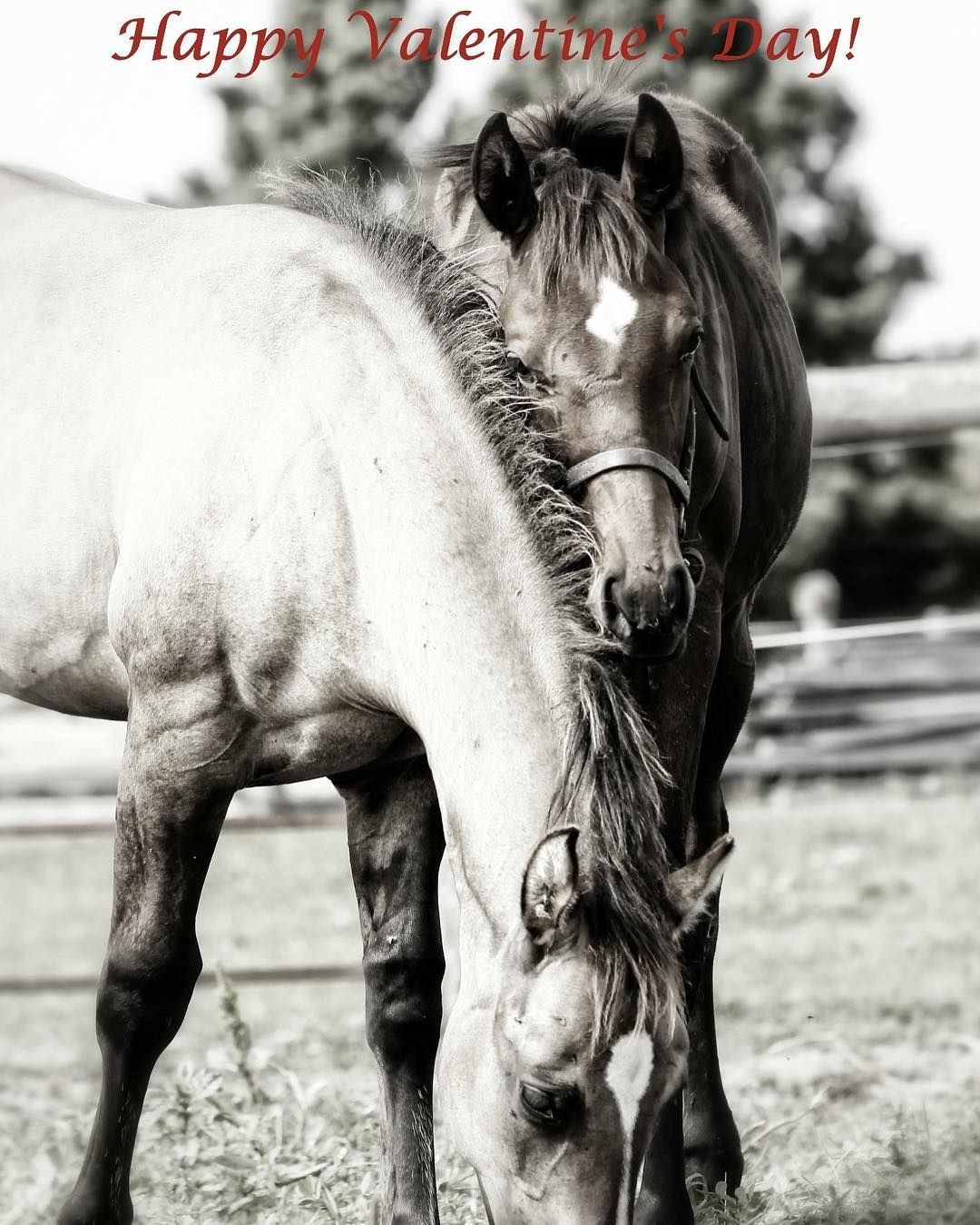 Dorothy Puddester On Instagram Happy Valentine S Day Valentines Valentines2017 Horses Equestrian Equine Lovemyhorse Ho Horses Show Horses Horse Lover