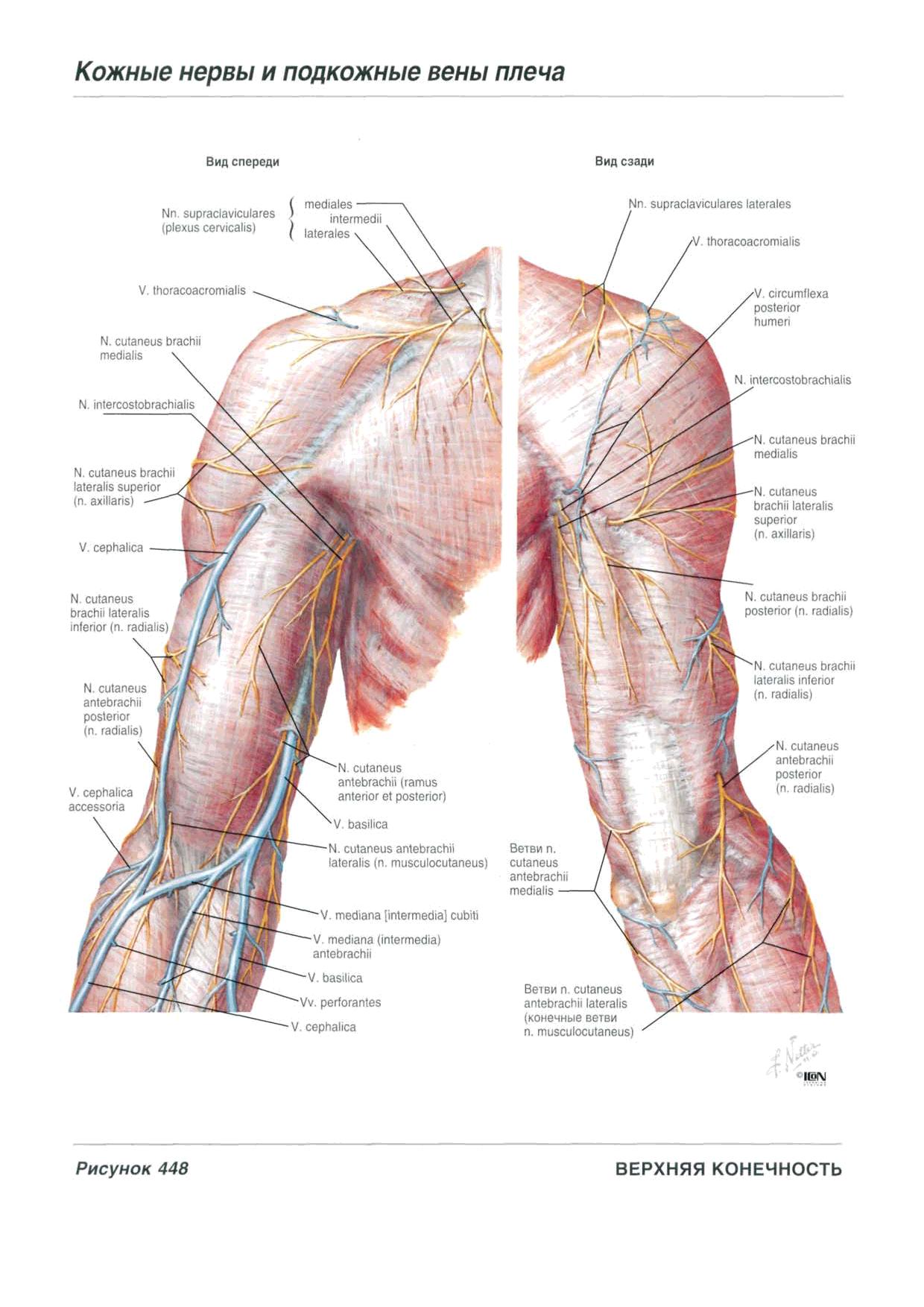 Книга Атлас анатомии человека Неттер Ф. - Читать онлайн - Online ...
