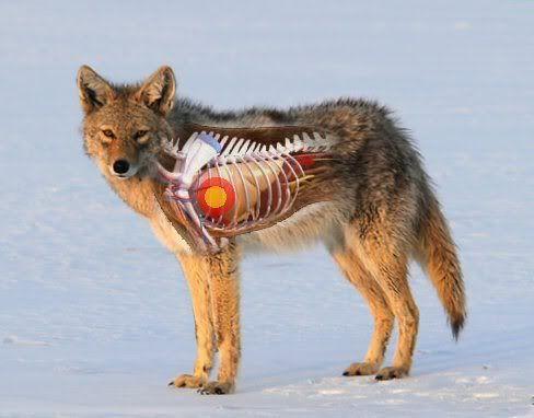 Coyote anatomy - the vitals   Hunting - Varmints   Pinterest ...