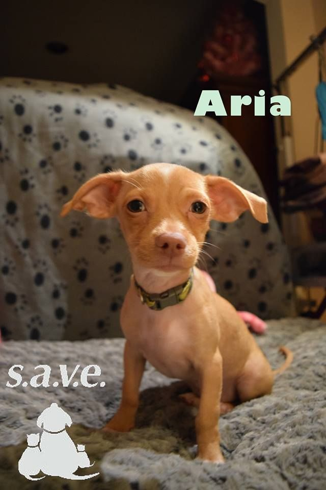 Chihuahua Dog For Adoption In Toms River Nj Adn 682218 On Puppyfinder Com Gender Female Age Baby Dog Adoption Chihuahua Dogs Chihuahua