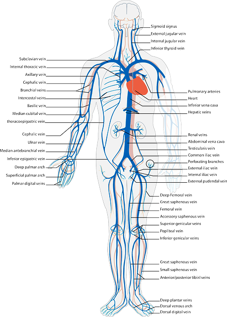 Free Image On Pixabay Human Body Circulatory System Human