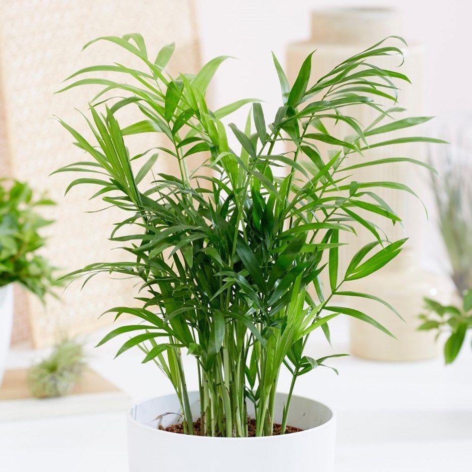 Chamaedorea elegans parlour palm / dwarf mountain palm
