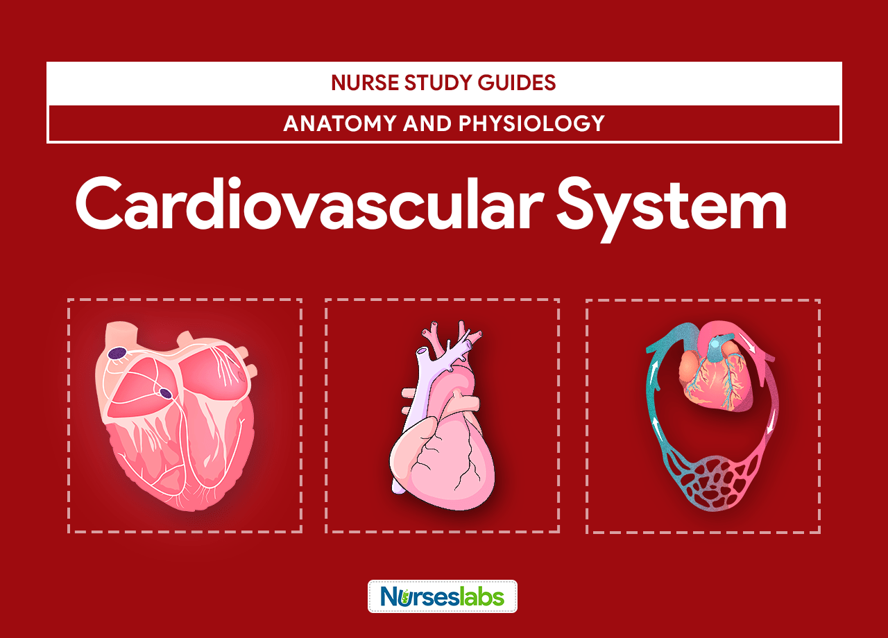 Cardiovascular System Anatomy and Physiology | Pinterest | Medical ...