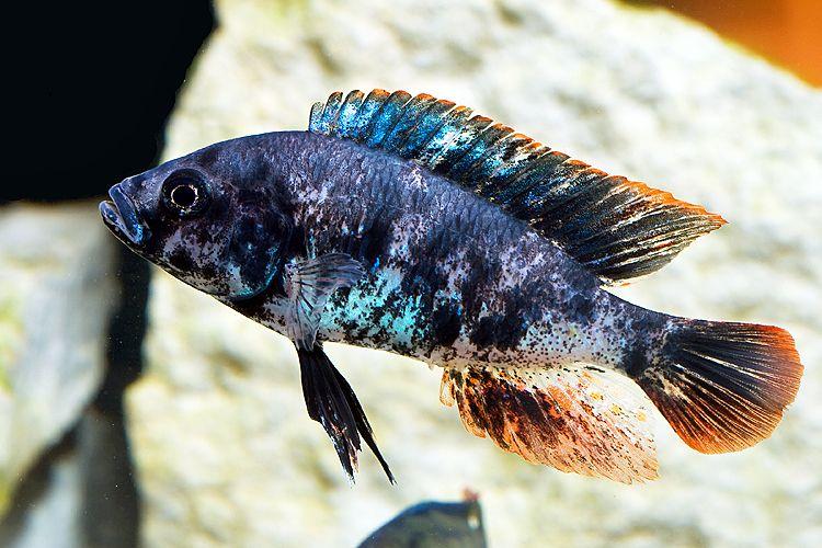 Haplochromis red piebald victorian cichlid Freshwater fish with red fins