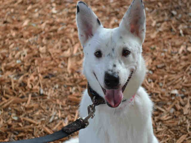 Boward Co Fl Jill Id A489885 I Am A Spayed Female White