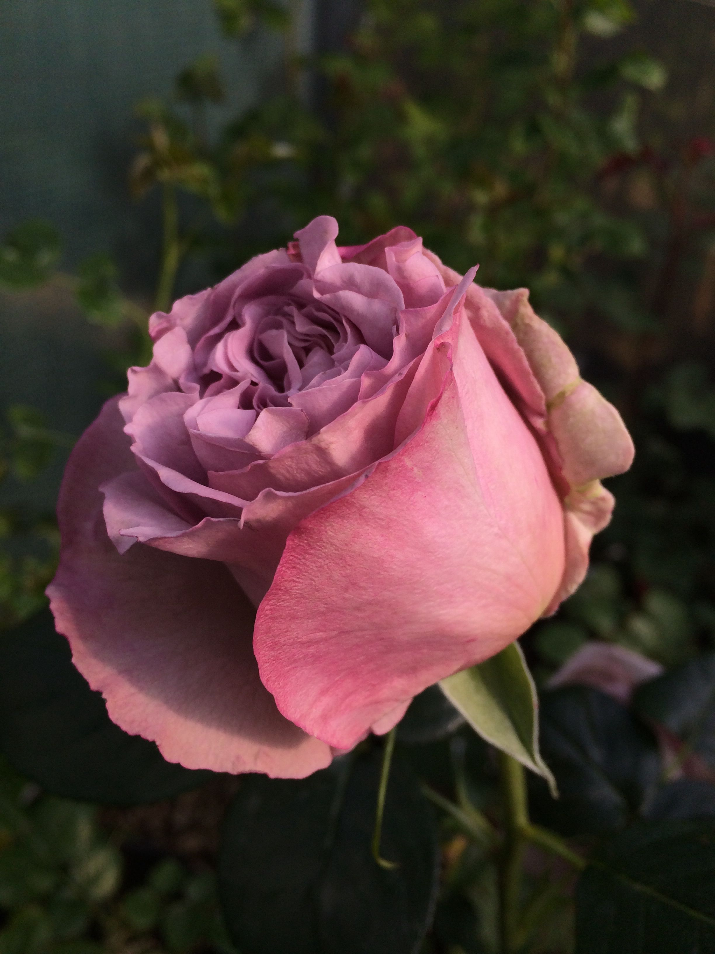 Rosa 'Blue Girl' www.filroses.com