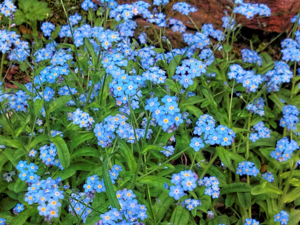 Kwiaty Polskie Plants Herbs Parsley