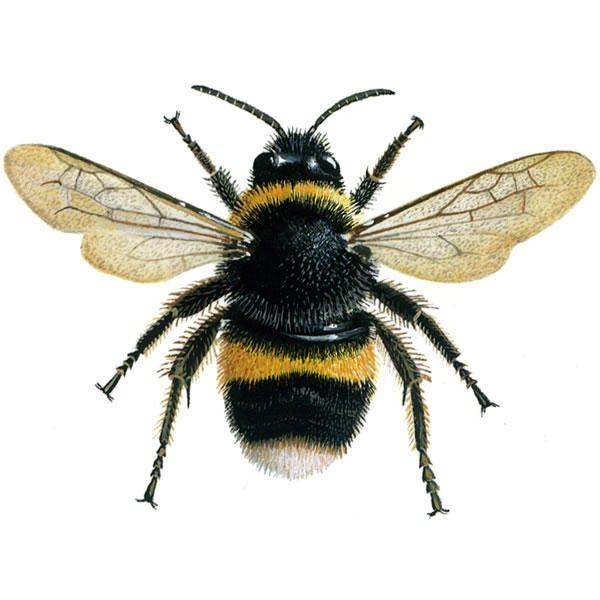 bumblebee_buff-tailed_600.jpg (600×600)   TBG Book Cover ...