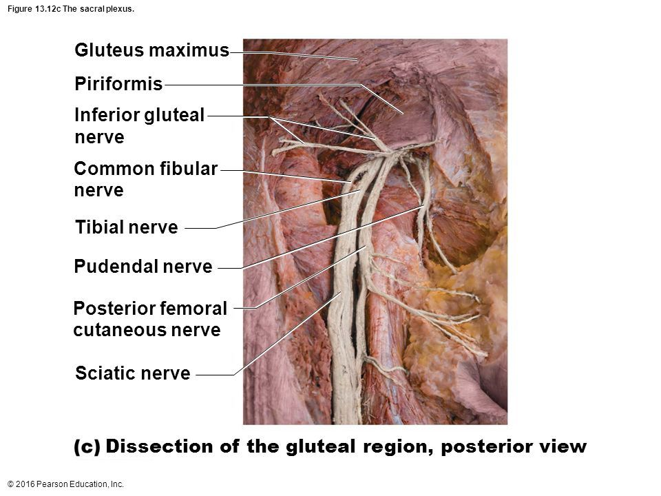 Image result for posterior femoral cutaneous nerve cadaver ...