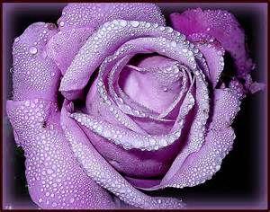 les plus belles roses du monde bing images fleurs pinterest fleur. Black Bedroom Furniture Sets. Home Design Ideas