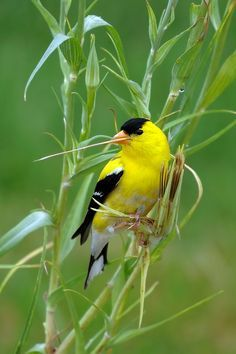 The New Jersey State Bird American Goldfinch NJPB Forums I Photographed This From My Car Morning In Tuckerton
