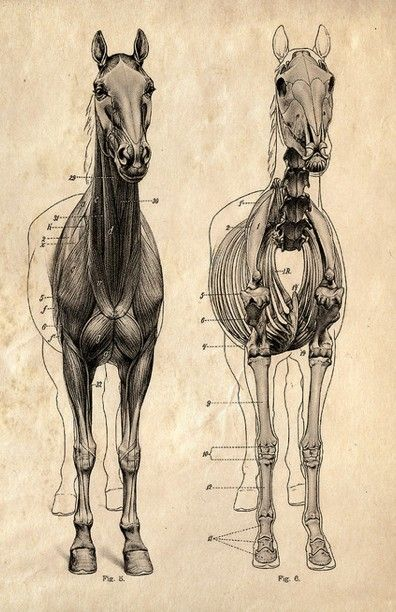 Horse anatomy - I know you were looking for this... | Equus ...
