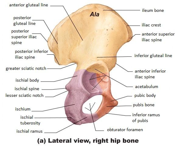 Side View Of Hip Bone Diagram Wiring Diagram Pictures