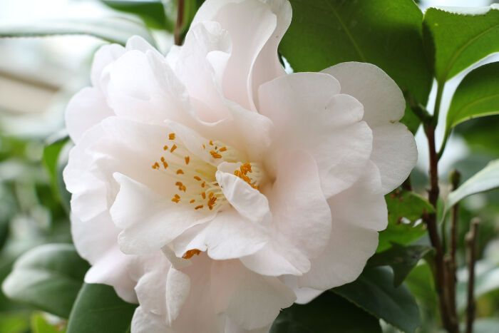 Camellia Flower Meaning Flower Meaning Flower Meanings Camellia Flower Showy Flowers