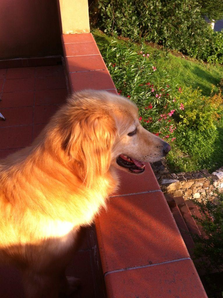 Crepuscolo toscano Hovawart, Hunde