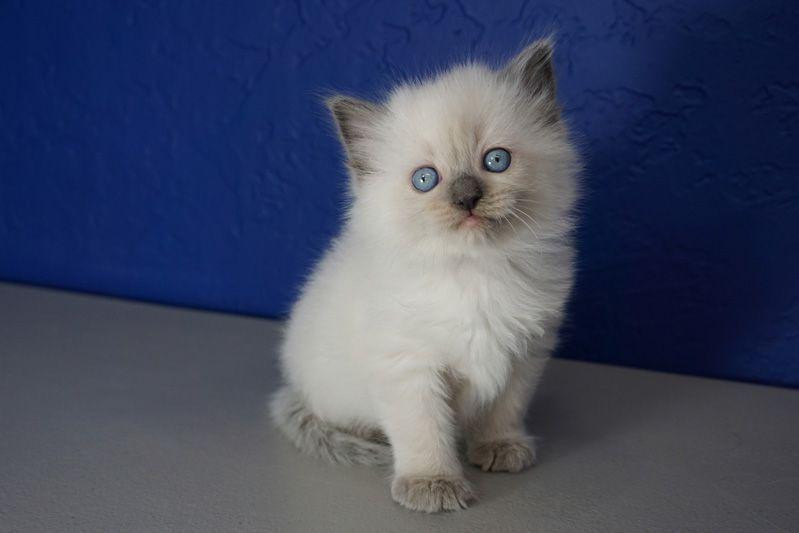 Ragdoll Kittens For Sale Near Me Buy Ragdoll Kitten Kitten Adoption Ragdoll Kittens For Sale Ragdoll Kitten