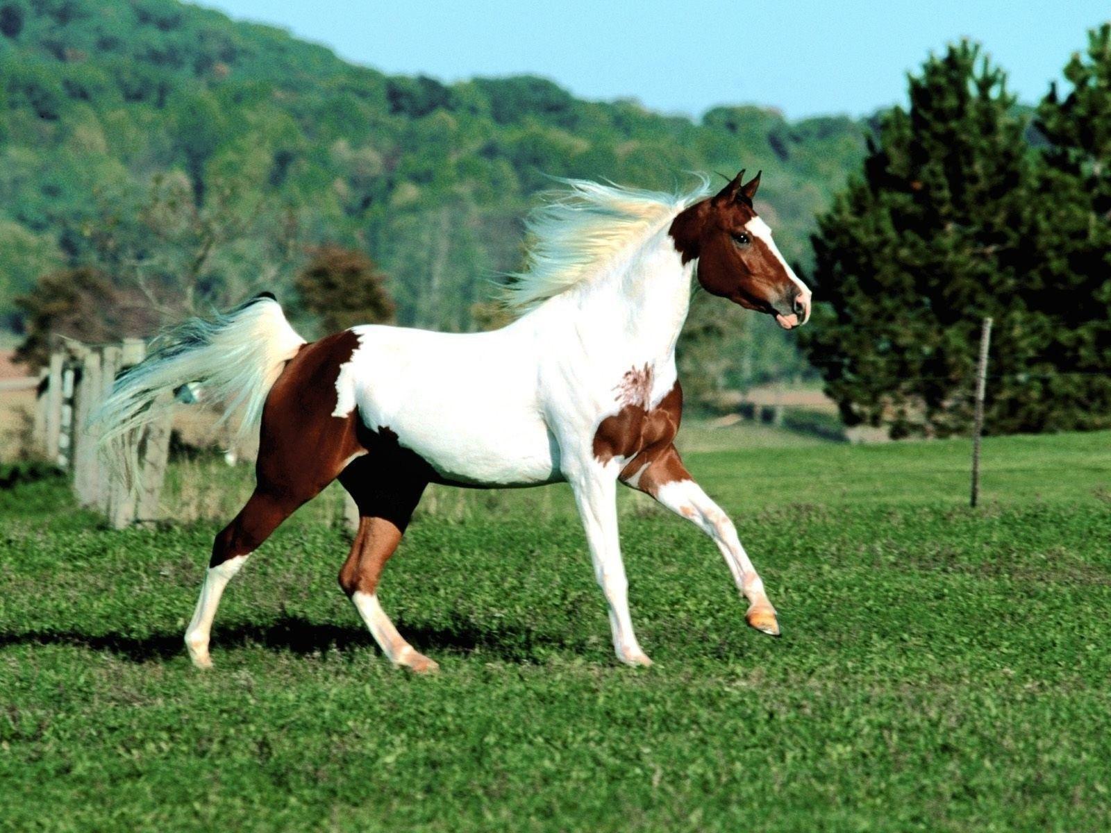 Most Beautiful Paint Horses Paint Horse Wallpapers Wallpaper Cave Caballos