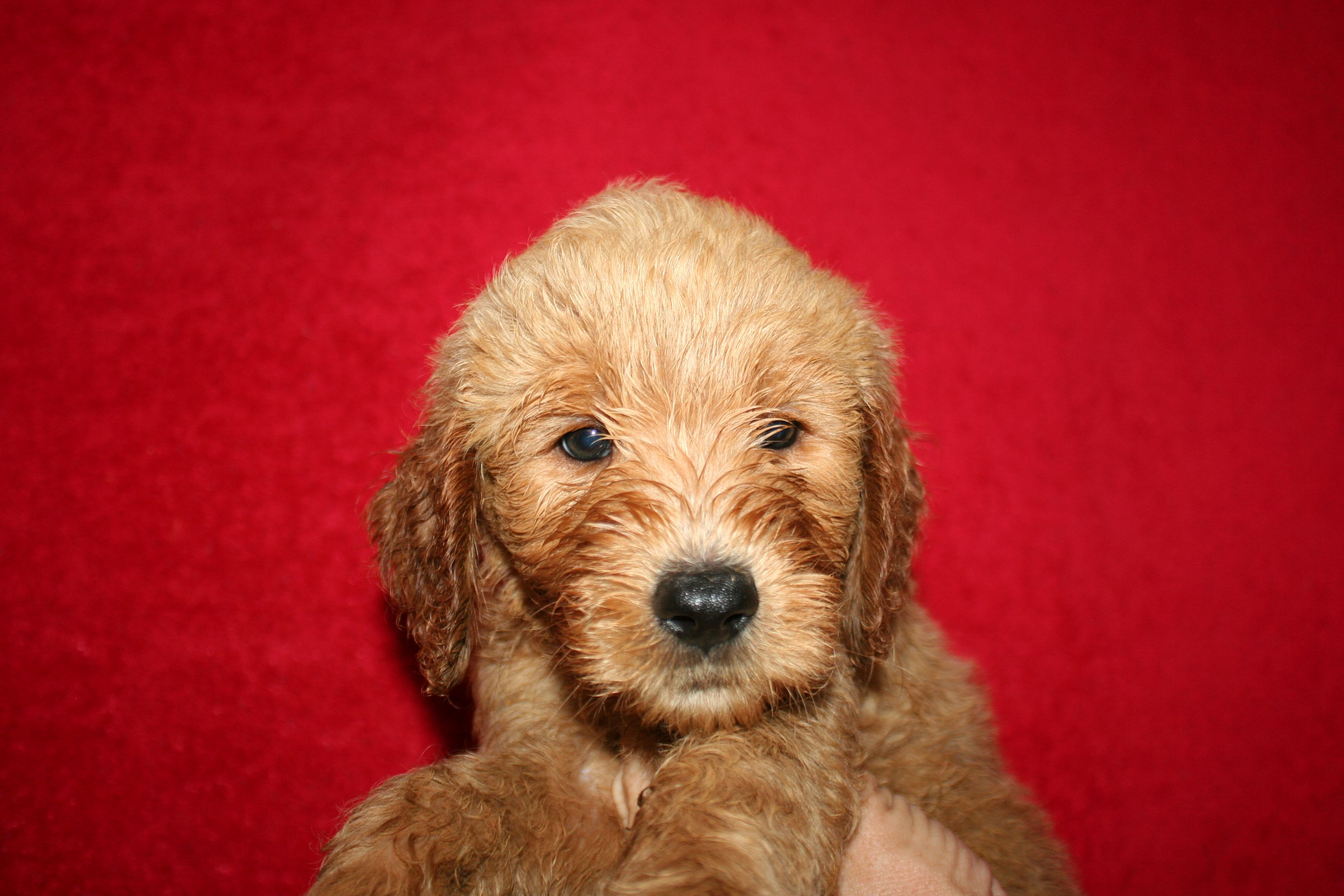 6 Week Old Medium F1b Gold Apricot Goldendoodle Puppy Fresh From