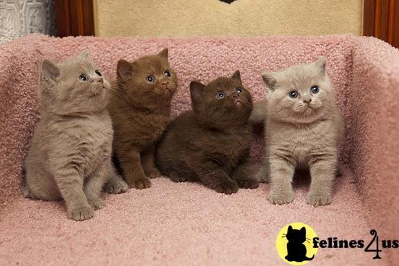 Cinnamon And Chocolate Rare Colors British Shorthair Kittens Kittens Chocolate Cat