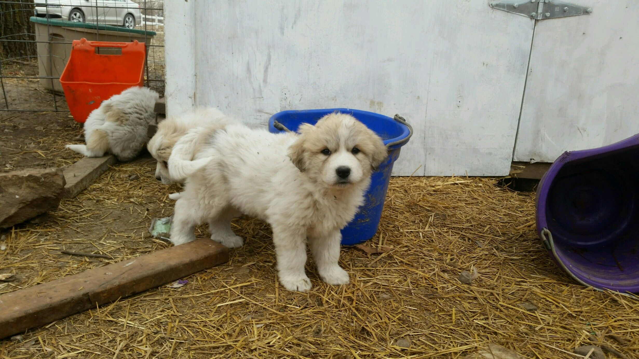 6 weeks   Great pyrenees, Pup, Animals
