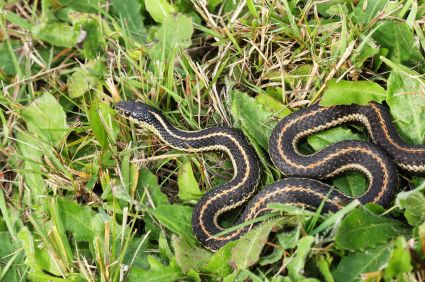 How To Get Rid Of Garter Snakes Garden Snakes Snake Repellant Snake