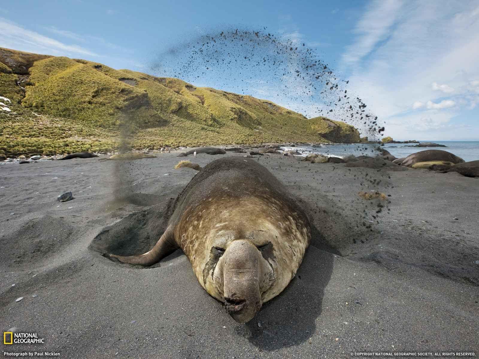 Elefante De Mar Sur De La Isla De Georgia Por Paul Nicklen Mamiferos Marinos Cambio Climatico