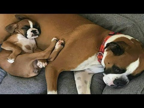 Funniest Boxer Dog Video Compilation 6 Funny Dogs Videos 2018