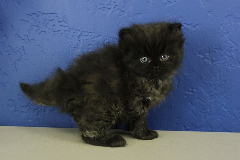 Black Solid Ragdoll Kitten Fluffy Kittens Ragdoll Kitten Ragdoll Kittens For Sale