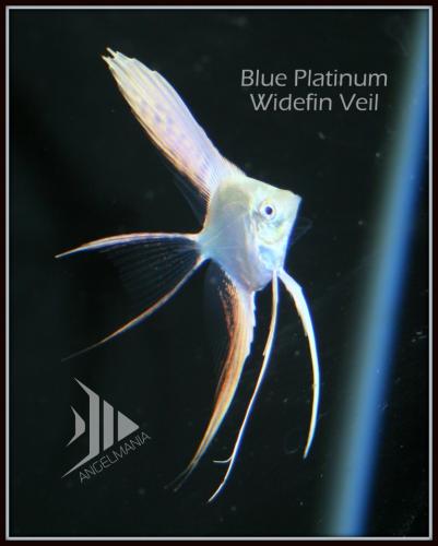 Blue Platinum Angelfish Show Quality Angelfish