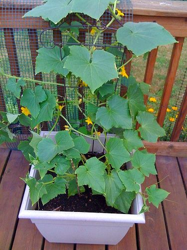 grow cucumbers in pots gardening pinterest cucumber