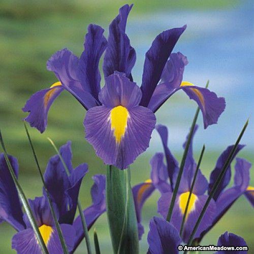 Sapphire Beauty Dutch Iris Dutch Iris Iris Flowers Iris