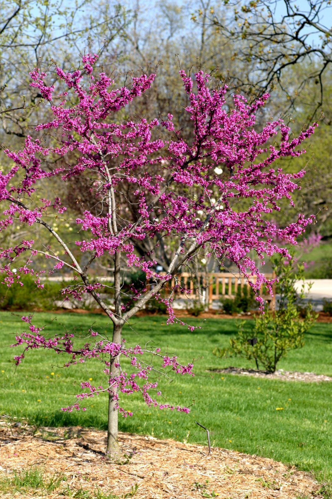 Oklahoma Redbud tree - I love this tree, it is beautiful when it blooms.
